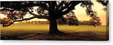 Louisiana Canvas Print - Usa, Louisiana, Oak Tree At Sunset by Panoramic Images