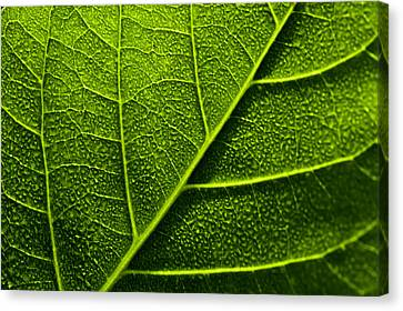 Vain Leaf Canvas Print by Sarita Rampersad