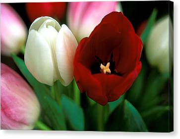 Valentine Tulips Canvas Print by Kathy Yates