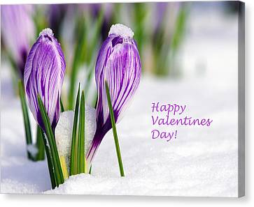 Valentines Day Crocuses Canvas Print by Sharon Talson