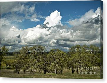 Valley Oaks Canvas Print