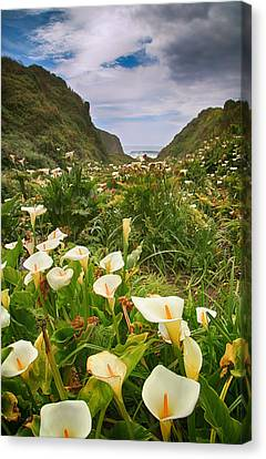 Calla Lily Canvas Print - Valley Of The Lilies by Laurie Search