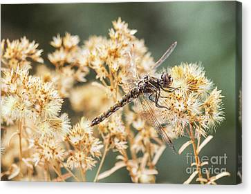 Variegated Meadowhawk On Yellow  Canvas Print