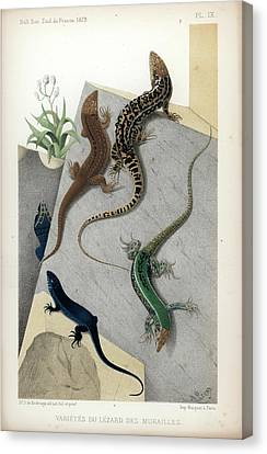Varieties Of Wall Lizard Canvas Print