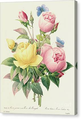 Rose Canvas Print - Variety Of Yellow Roses And Bengal Roses by Pierre Joseph Redoute