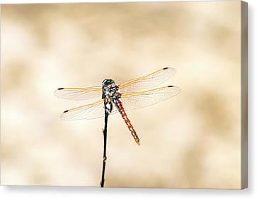 Varigated Meadowhawk Dragonfly Sympetrum Corruptum Canvas Print