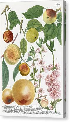 Apple Canvas Print - Various Apples With Blossom by Georg Dionysius Ehret