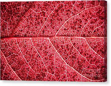 Veins In A Red Autumn Leaf Canvas Print by Ryan Kelly