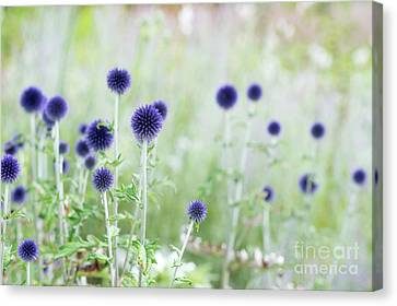 Asteraceae Canvas Print - Veitchs Blue by Tim Gainey