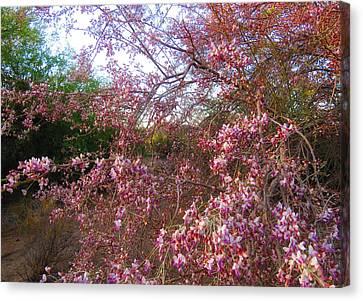 Vekol Wash Desert Ironwood In Bloom Canvas Print