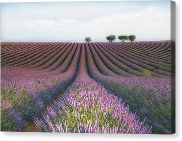Velours De Lavender Canvas Print