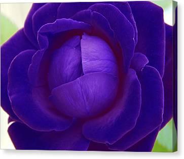 Velvet Blue Lettuce Rose Canvas Print