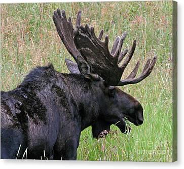 Velvet Moose Canvas Print