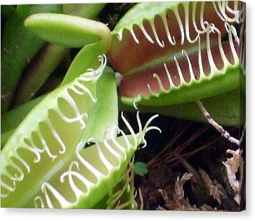 Venus Fly Traps Canvas Print by Mindy Newman