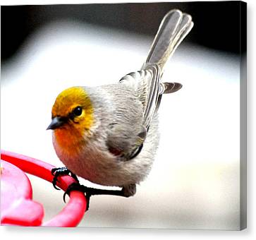 Verdin Song Bird On Hummingbird Perch Canvas Print by Jay Milo