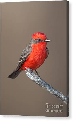 Vermilion Flycatcher Canvas Print by Clarence Holmes