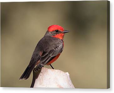 Vermilion Flycatcher In Northern California Canvas Print by Kathleen Bishop
