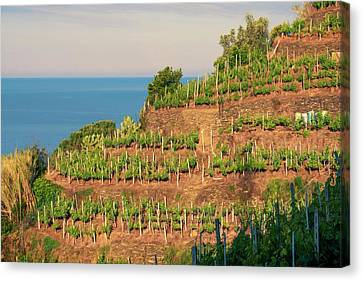 Grape Vines Canvas Print - Vernazza Vineyards by Joan Carroll