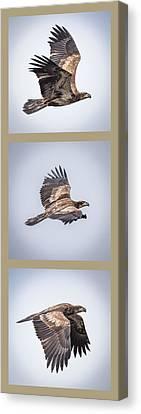 Vertical Eagle Triptych Canvas Print by Paul Freidlund