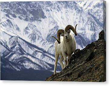 Very Large Dall Sheep Ram On The Grassy Canvas Print by Michael S. Quinton