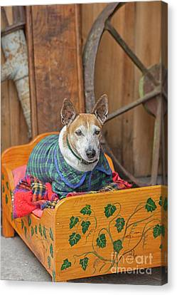 Canvas Print featuring the photograph Very Old Pet Dog In Clothes On Own Bed by Patricia Hofmeester