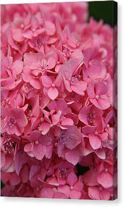 Very Pink Hydrangea Blossoms 2578 H_2 Canvas Print
