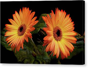 Canvas Print featuring the photograph Vibrant Gerbera Daisies by Terence Davis