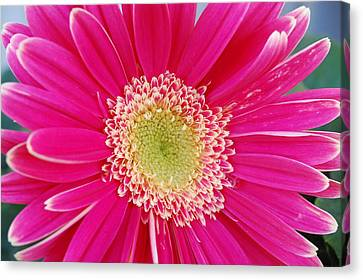 Vibrant Pink Gerber Daisy Canvas Print by Amy Fose