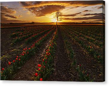 Vibrant Red Rows Of Tulips In Skagit At Sunset Canvas Print