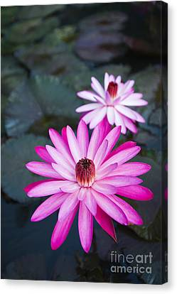 Vibrant Waterlilies Canvas Print by Dana Edmunds - Printscapes