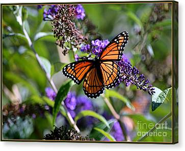 Viceroy  Canvas Print by Brenda Bostic