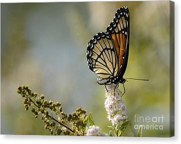 Viceroy Canvas Print by Randy Bodkins