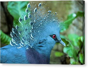 Victoria Crowned Pigeon Canvas Print by Daniel Hebard