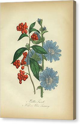 Victorian Botanical Illustration Of Bittersweet And Blue Succory Canvas Print by Peacock Graphics