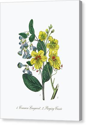 Victorian Botanical Illustration Of Lungwort And Cassia Canvas Print by Craig McCausland
