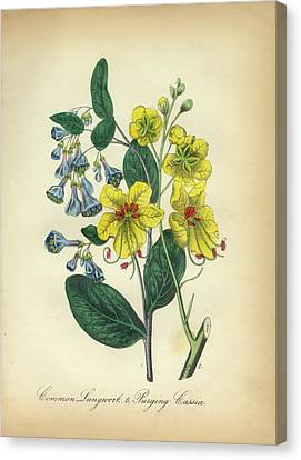 Victorian Botanical Illustration Of Lungwort And Cassia Canvas Print by Peacock Graphics