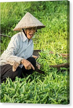 Vietnamese Woman In Rice Paddy Canvas Print by Juli Scalzi