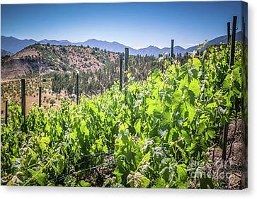 View Of The Vineyard. Winery In Chile, Casablanca Valley Canvas Print by Anna Soelberg