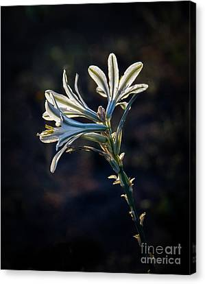 Canvas Print featuring the photograph Vignetted Ajo Lily by Robert Bales