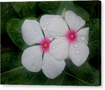 Vinca Eyes Canvas Print