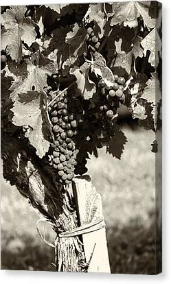 Vine And Grapes - Toned Canvas Print
