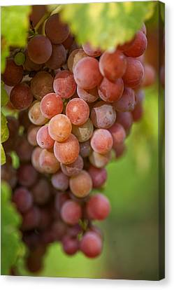Wine Making Canvas Print - Vine With Red Grapes by Jenny Rainbow