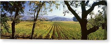 Vines In A Vineyard, Far Niente Winery Canvas Print by Panoramic Images