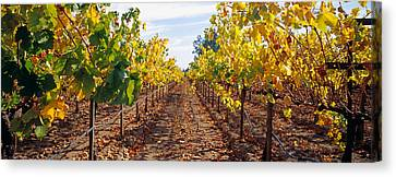 Napa Canvas Print - Vines In A Vineyard, Napa, Napa County by Panoramic Images