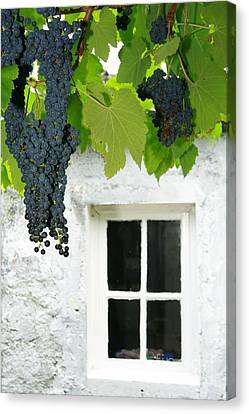 Vines In The Backyard Canvas Print by Gaspar Avila