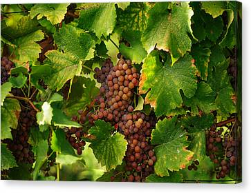 Vines With Ripe Grapes Canvas Print