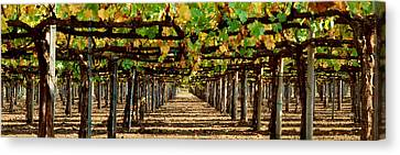 Vineyard Ca Canvas Print by Panoramic Images