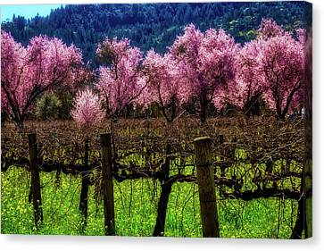 Vineyard Cherries Canvas Print by Garry Gay