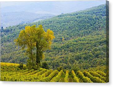 Vineyard  Chianti, Tuscany, Italy Canvas Print by Yves Marcoux