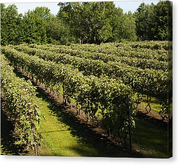 Vineyard  Dunham, Quebec, Canada Canvas Print